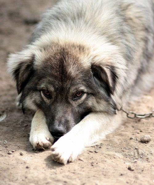 dog chain sadness