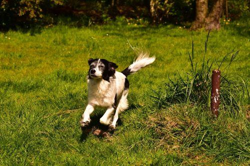 dog hybrid german longhaired pointer