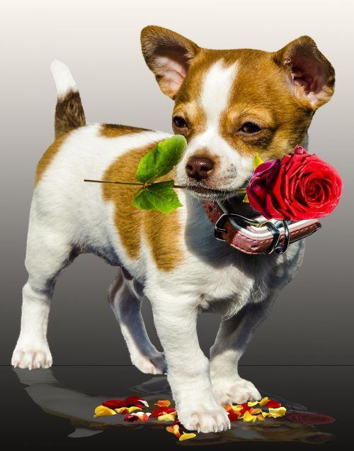 dog rose birthday