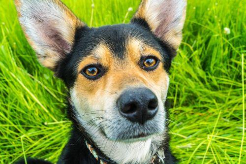 dog ears animal