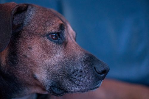 dog nose eyes