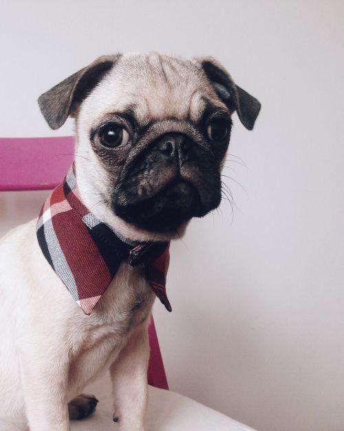 dog pug fashion