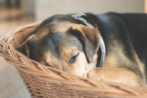 dog sleep animal