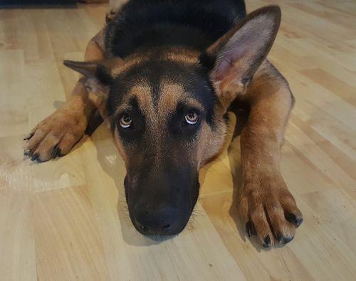 german shepherd dog alsatian