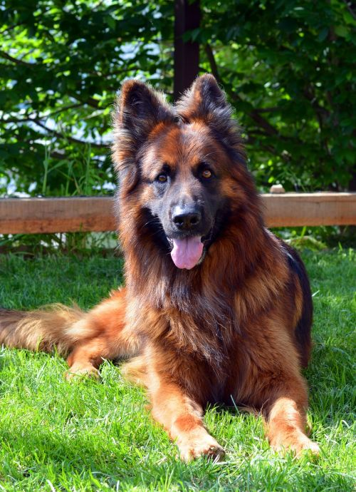 dog german shepherd guards