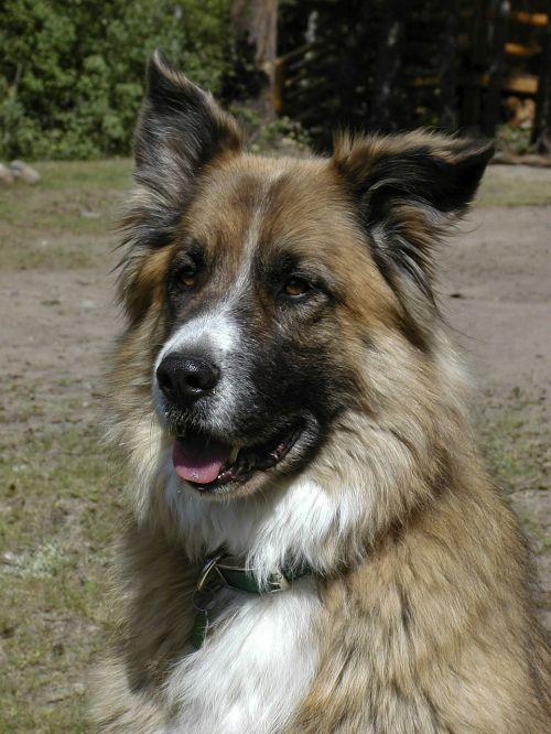 dog saint bernard pet