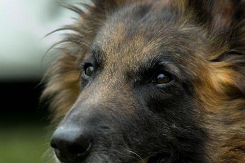 dog tervueren look