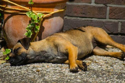 dog tired sleep