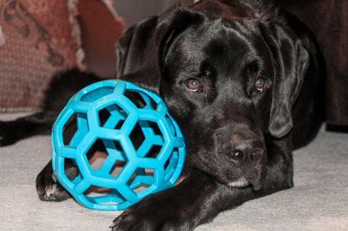 dog toy saint bernard
