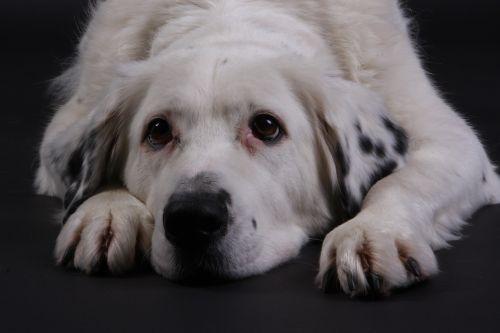 dog white sweet