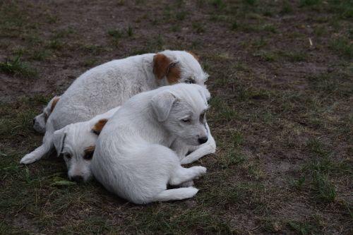 dog puppies dog puppies