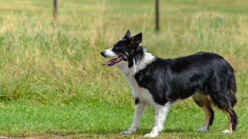 dog border collie looking