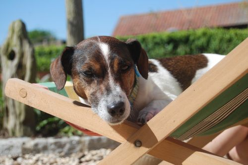 dog jack russell animal