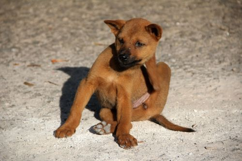dog flea scratch