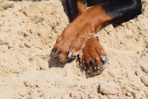 dog pinscher paws
