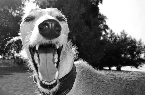 dog animal greyhound