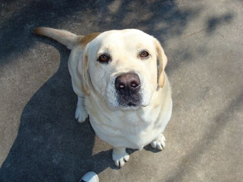 dog nose yellow lab