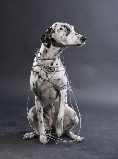 dog dalmatians animal torturer
