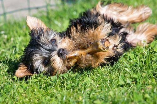 dog puppy small dog