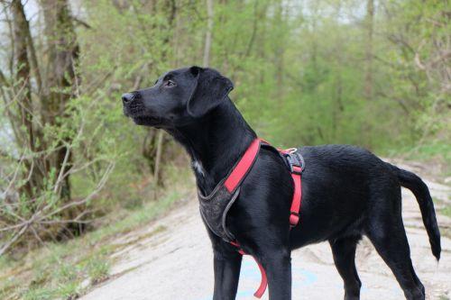 dog labrador black