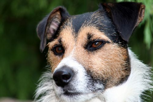 dog jack russel by his