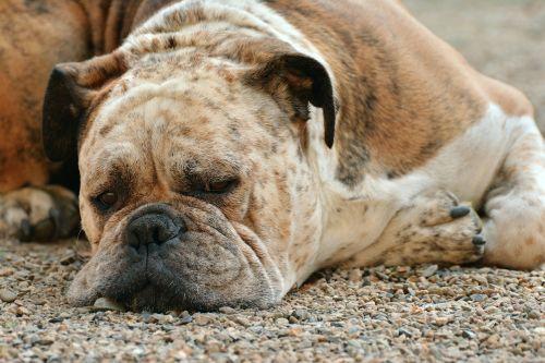 dog boxer boxer dog