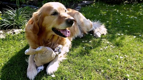 dog golden retriever garden