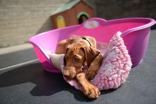 dog dog vizsla puppy vizla