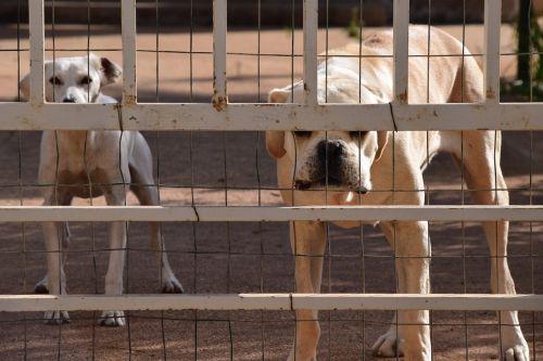dog guard dog cane corso