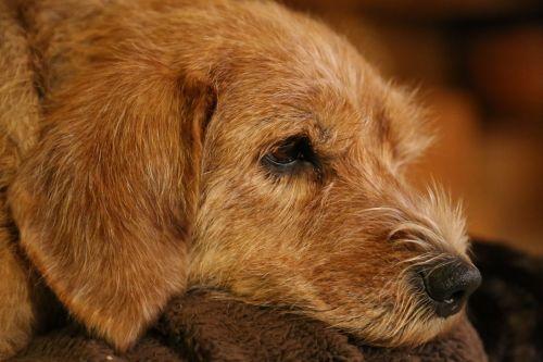 dog animals brown