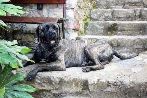 dog cane corso garden