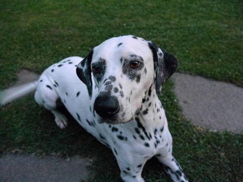dog dalmatians white black