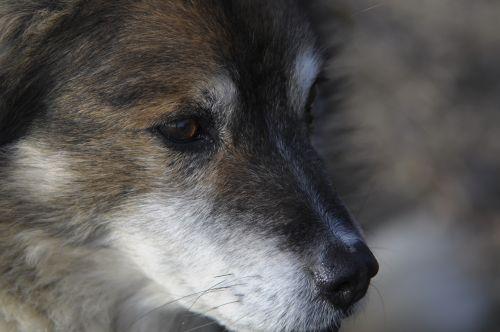 dog animal wolf