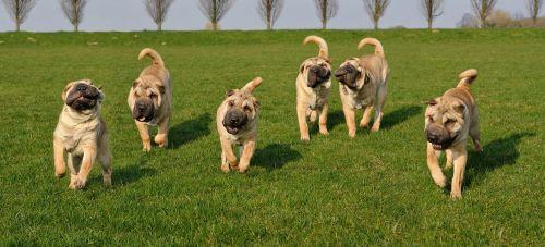 dog sharpei animal