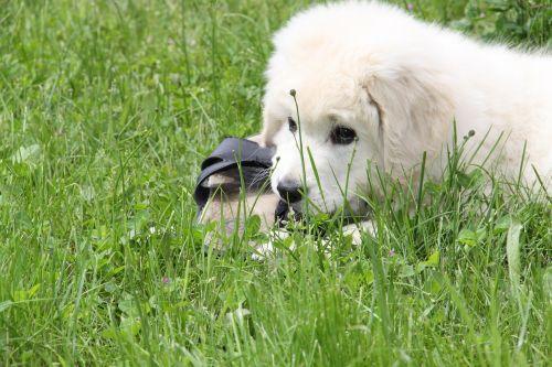 dog white berger