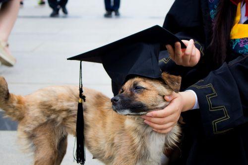dog graduation photo bachelor gown