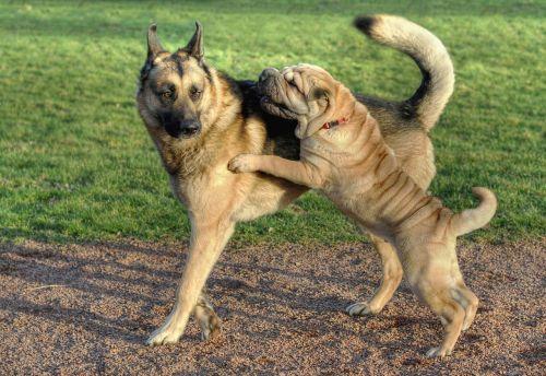 dog sharpei german shepherd