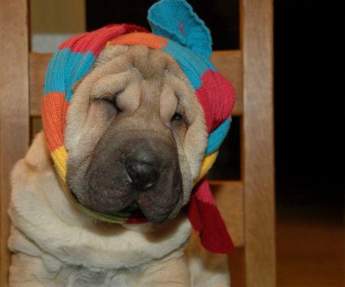 dog sharpei scarf