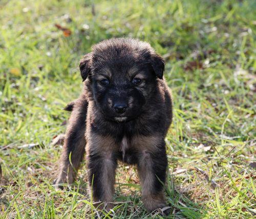 dog puppies puppy