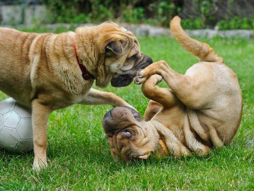 dog sharpei play