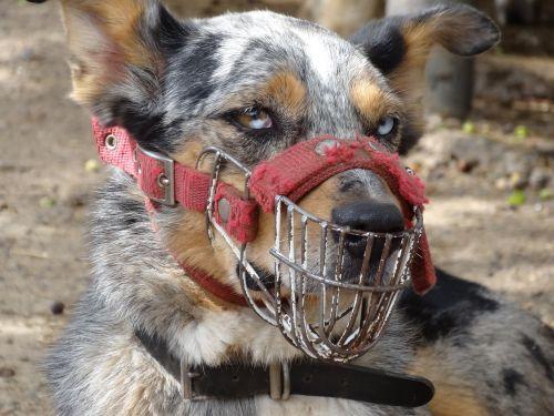 dog australia muzzle
