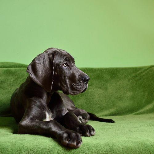 dog dog breed large