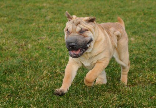 dog sharpei run