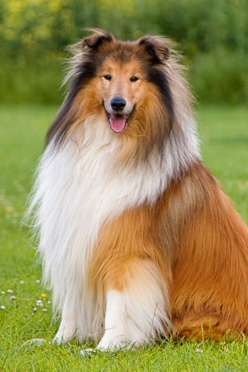 dog collie animal