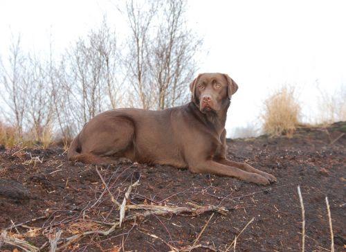 dog hunting hunting dog