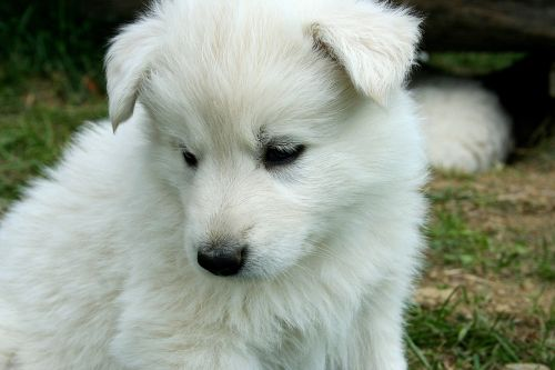 dog puppy white