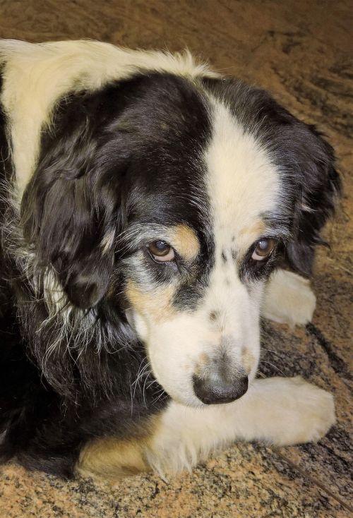 šuo,australų aviganis,juoda,balta,ruda,Patinas,profilis,Uždaryti,senas,pilkos akys,ištikimas išvaizda,brangioji,geriausias draugas