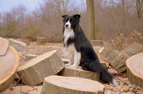 dog border collie british sheepdog