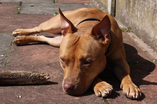 dog pet breed
