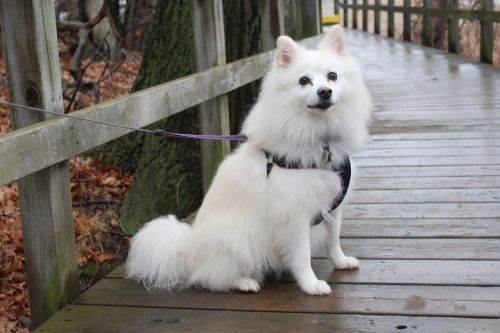 dog american eskimo animals